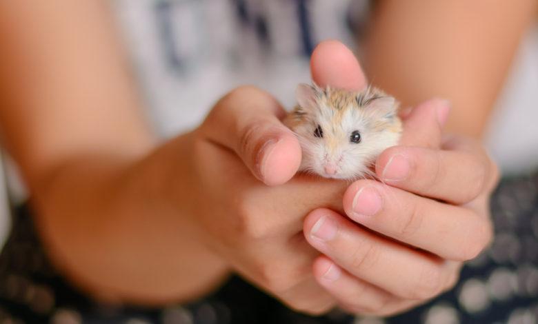 hamster als haustier für kinder